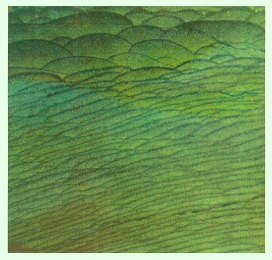 """Roger Caillois, Diaspro del Madagascar in """"La scrittura delle pietre"""" Torino, Marietti 1986"""